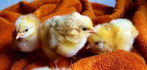 élevage poule pondeuse poussin